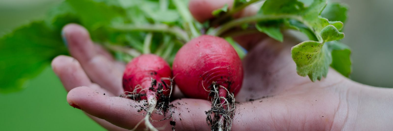 fresh-produce-radishes-farmers